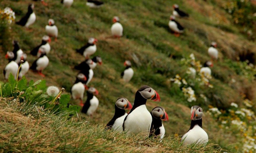 Tecla_Dutch_Tall_Ships_Puffins_1